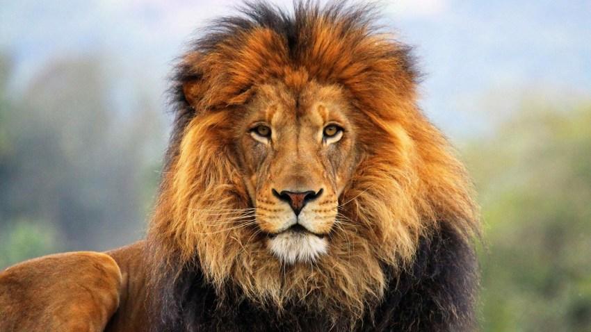 Лев (Panthera leo): виды, фото, интересные факты