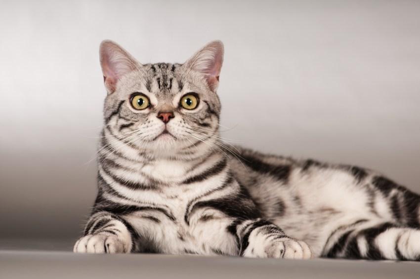 Американская короткошерстная кошка 🐈 фото, описание породы, характер, уход, стандарты