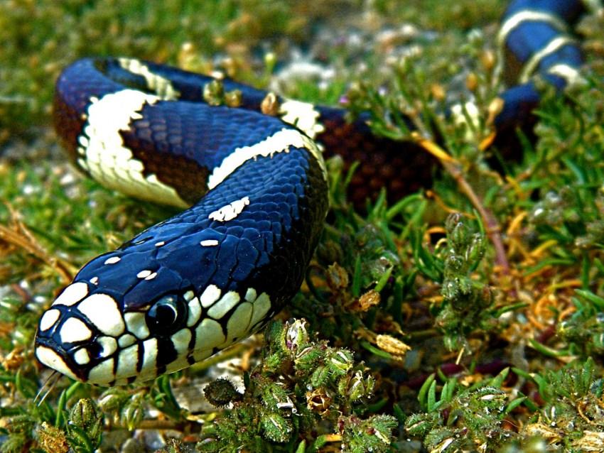 фото змеи королевская змея