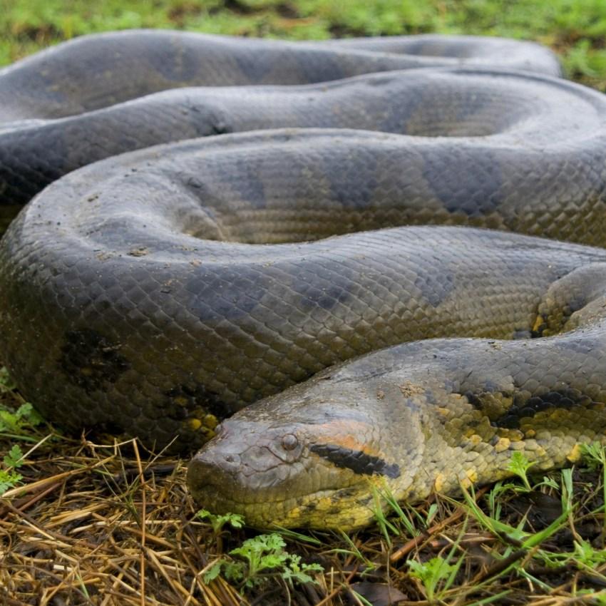смотреть картинки змеи анаконды фантастического