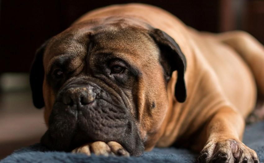 Бульмастиф: все о собаке, фото, описание породы, характер, цена