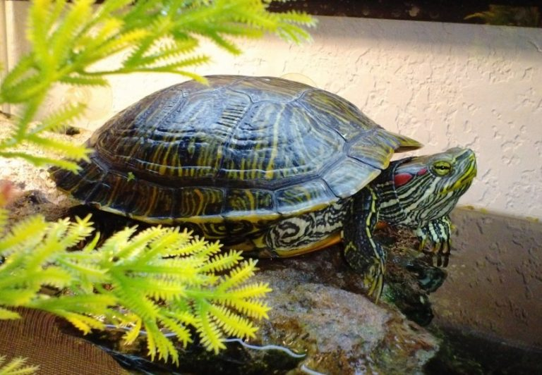 водные черепахи уход и содержание фото обожаю