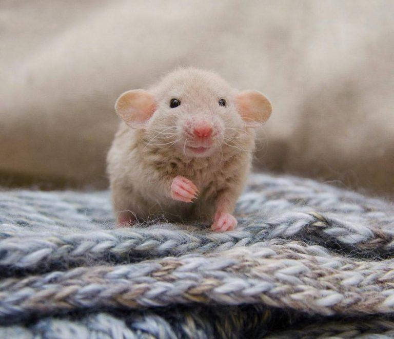 симпатичные крысята картинки тех