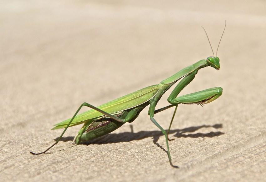 Богомол - это уникальное насекомое