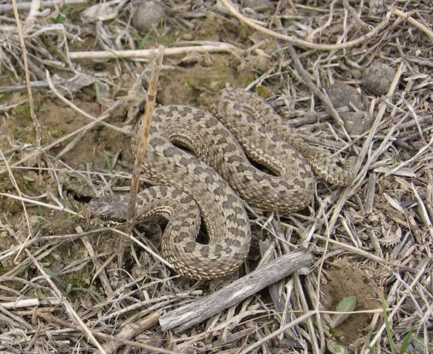 змеи саратовской области описание фото каганович уверял, что