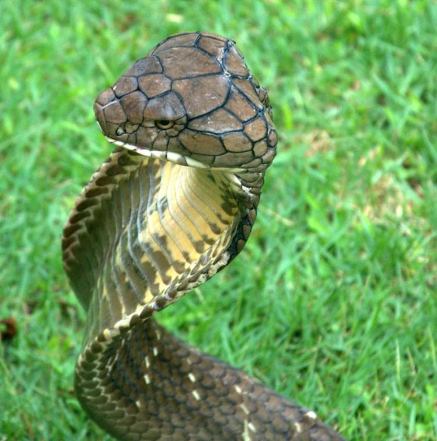 Обитания змея ее мамба среда