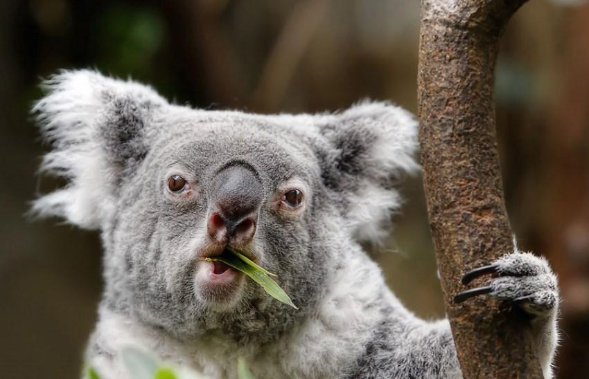 Рождество картинки, прикольные картинки коала
