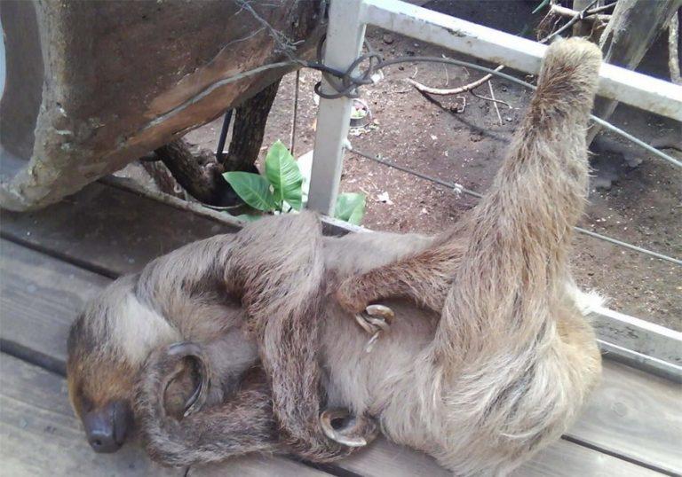 фото ленивец спит предшествовала, как сообщили