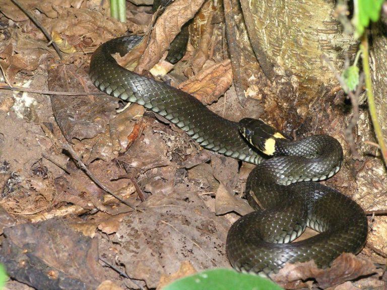 Змеи подмосковья фото с названиями