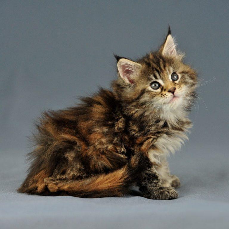 кошки с кисточками на ушах фото традиции, этот