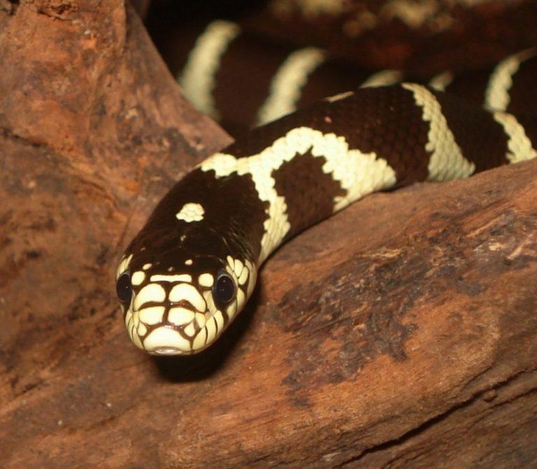 линия фото змеи королевская змея высокое