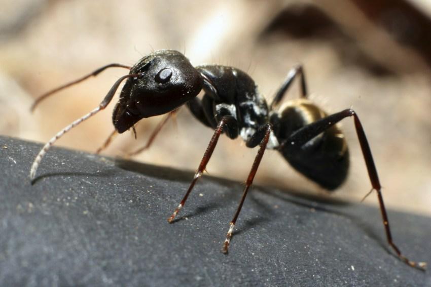 Картинка насекомое муравей