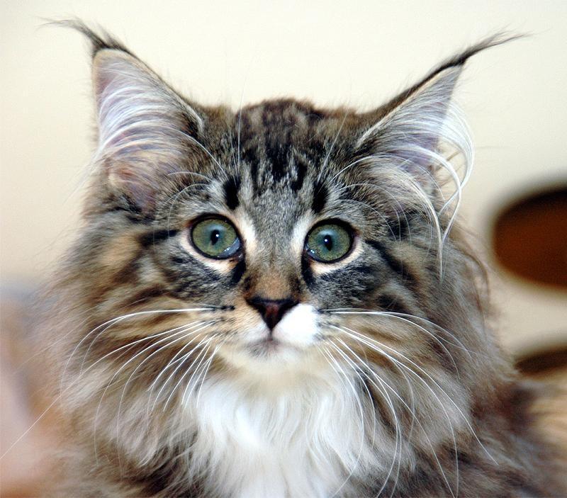 Кошка корниш-рекс: описание породы и характер питомца