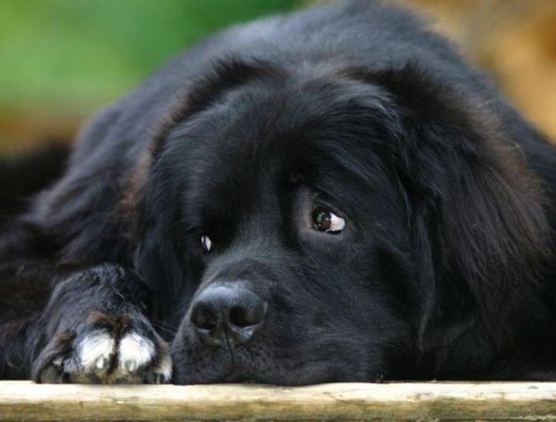 Ньюфаундленд: фото ньюфаундленда, описание породы собак с фотографиями.