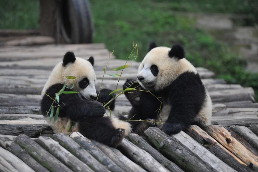 Панда (бамбуковый медведь): ареал обитания, основные виды и рацион питания (видео   фото)