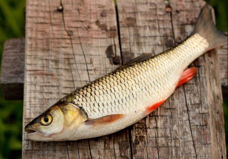 виды рыб в дону фото дед баба