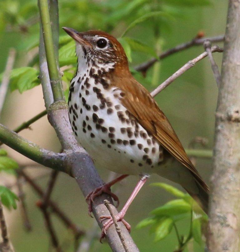 птица дрозд фото и описание пользуйся лубрикантом
