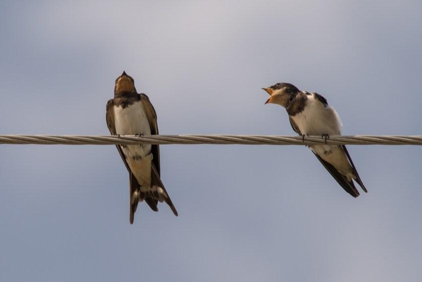 Ласточка птица перелетная или нет