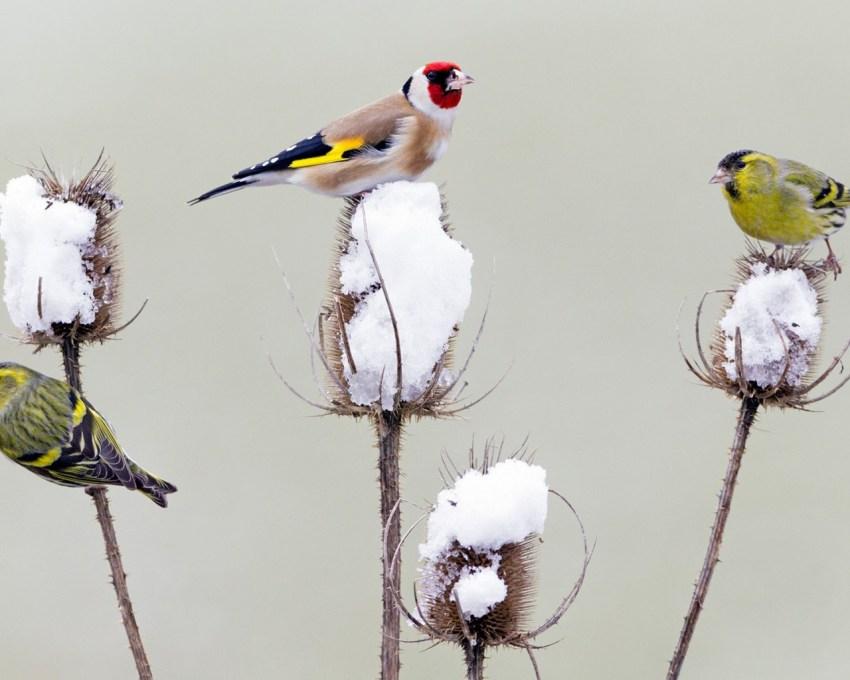 Птица щегол (55 фото): как выглядит черноголовый и обыкновенный, описание, видео