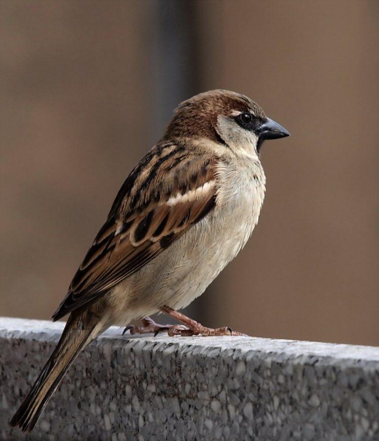 Воробей птица картинка для детей