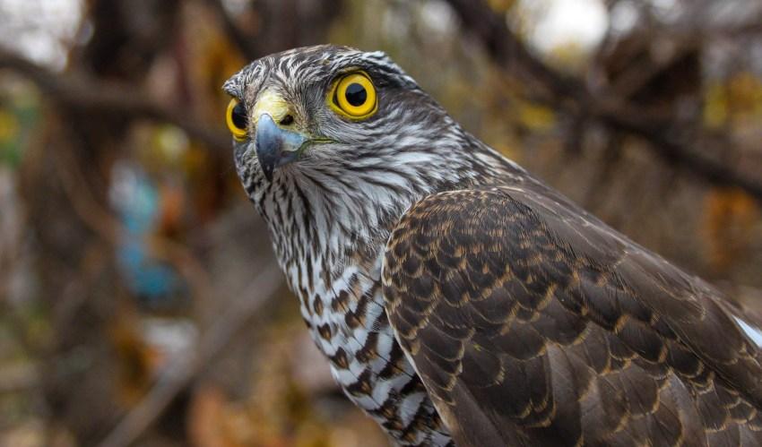 птица из ястребиных 6