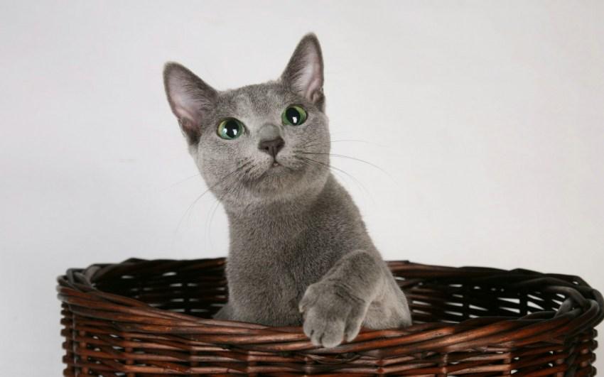 Фотография кошки породы русская голубая