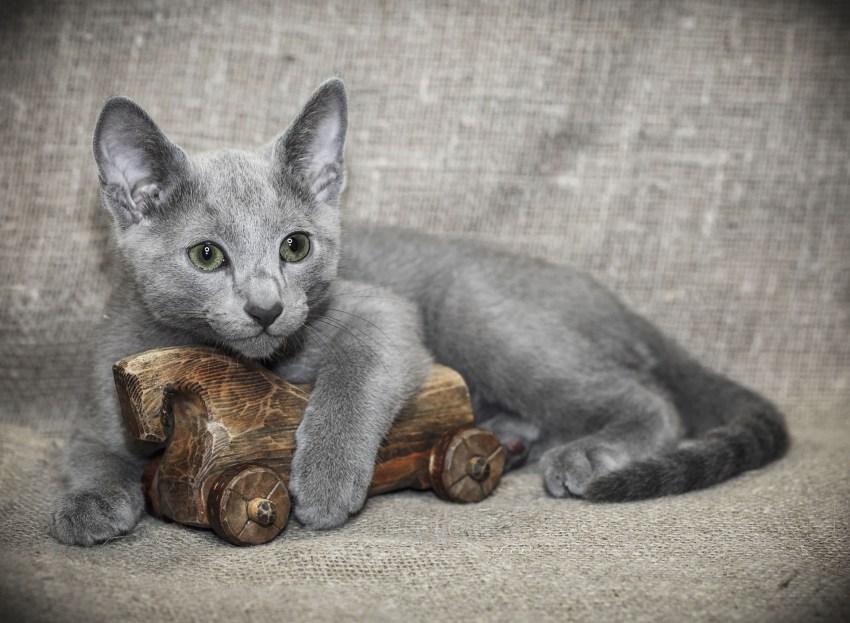 Фотография кошки породы русская голубая thumbnail