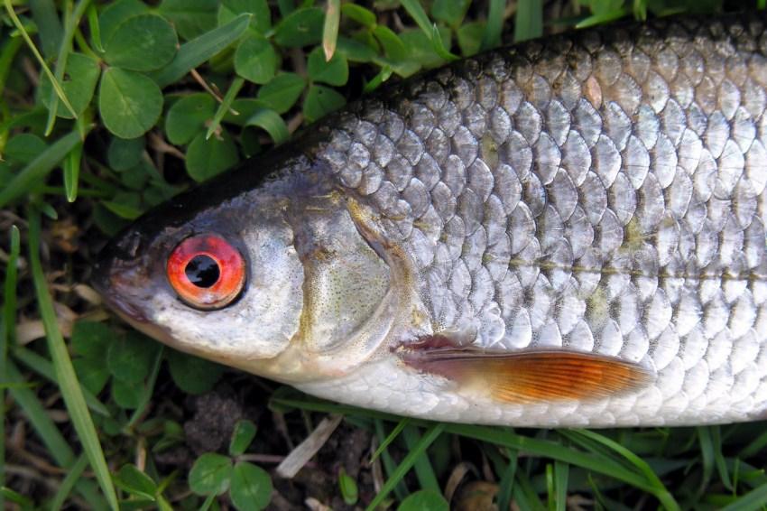 Плотва картинка рыба