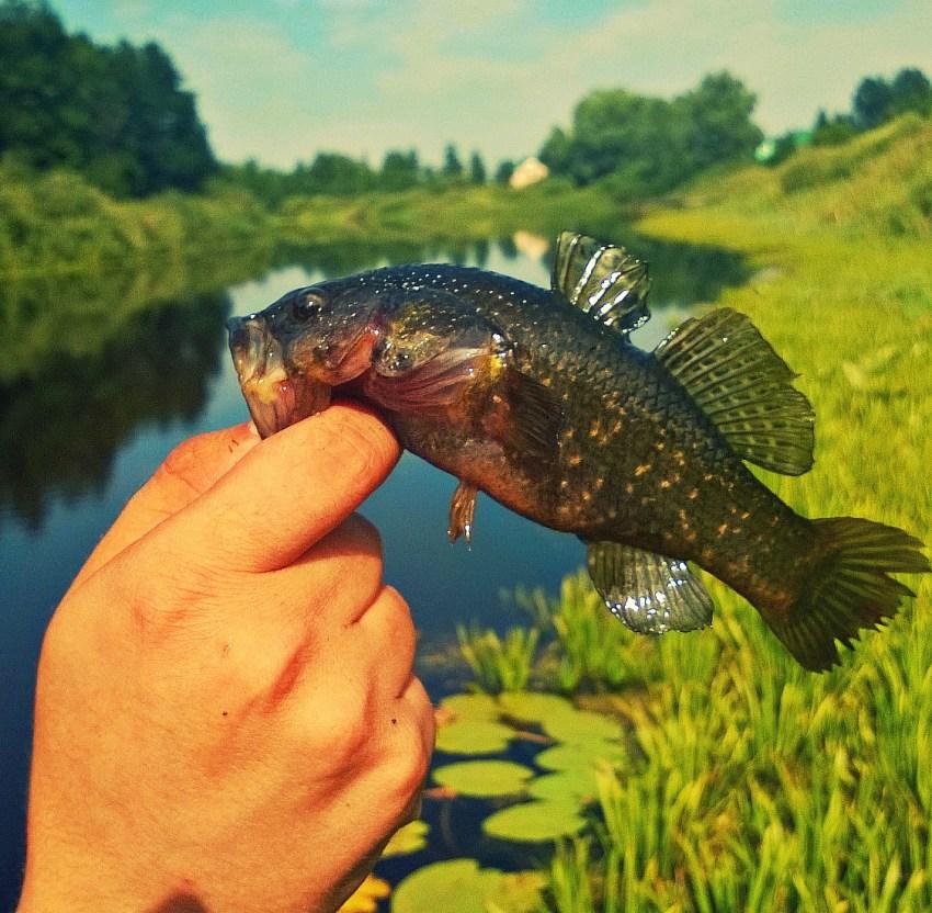 Фотки рыбы ротан