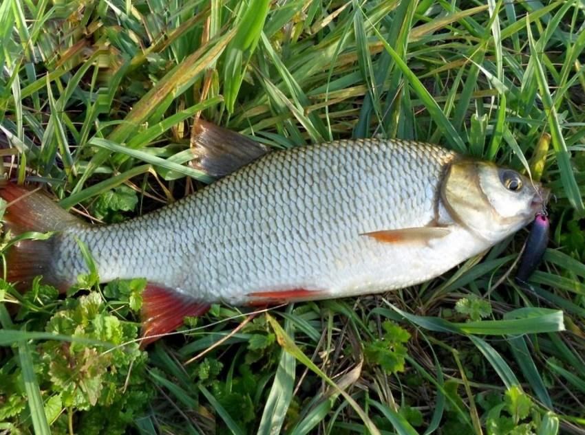 доме, язь рыба фото и описание всего