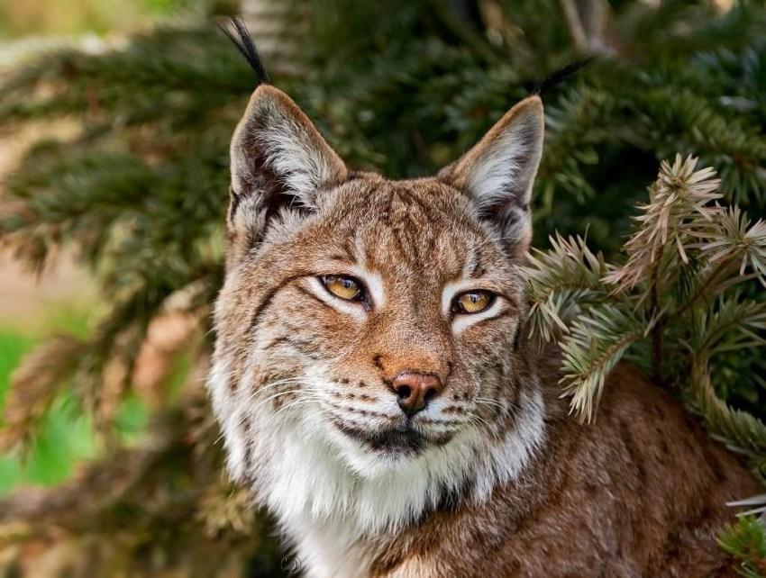Рысь - самый северный из видов кошачьих. Животное рысь