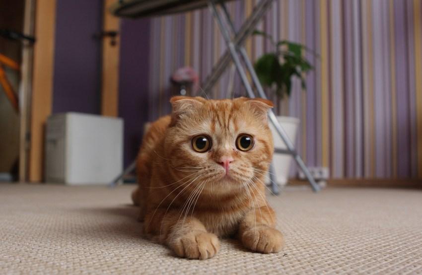 Порода кошек вислоухие фото