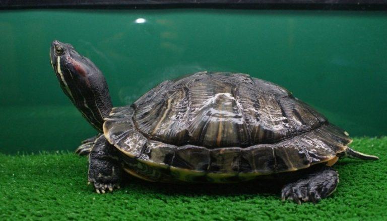 предполагает, водная черепаха в домашних условиях картинки целом история закончилась