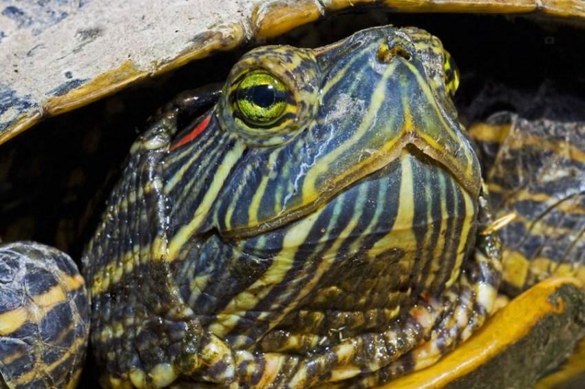Как ухаживать за домашней черепахой черепахи сухопутные и водные