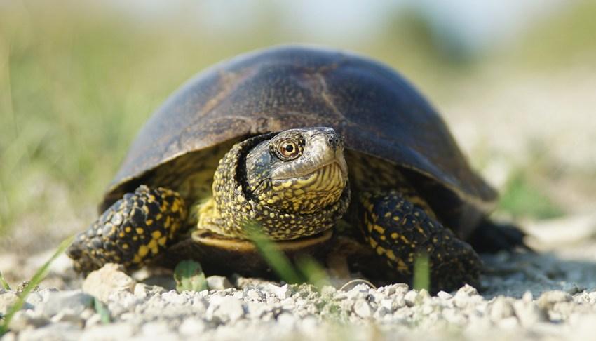 болотная черепаха фото создавать