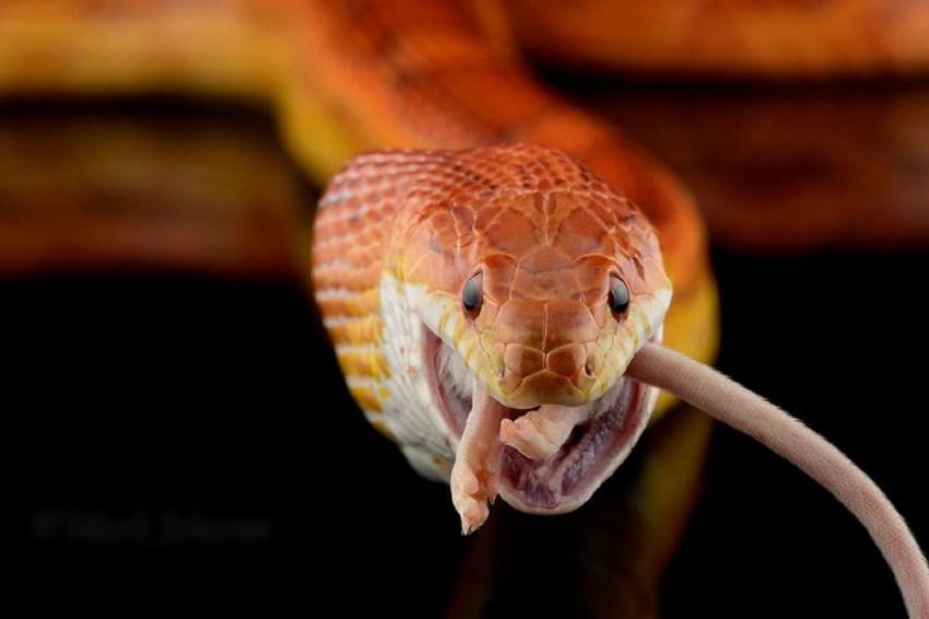 Желтая змея: особенности, разновидности и места обитания (135 фото)