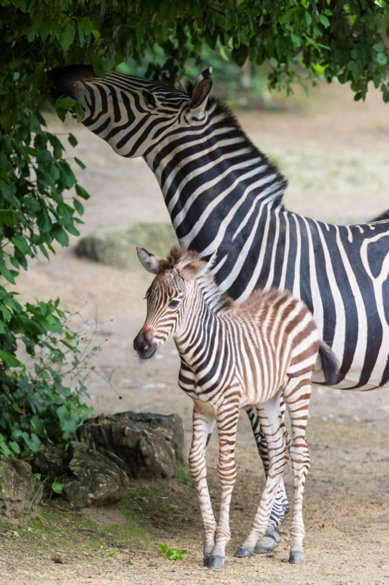 Ожидание, картинки жирафов и зебр