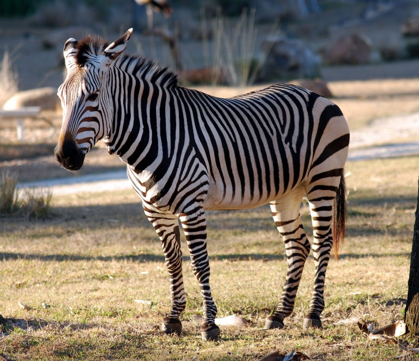 качестве картинки зебра в хорошем качестве подходит одном случае