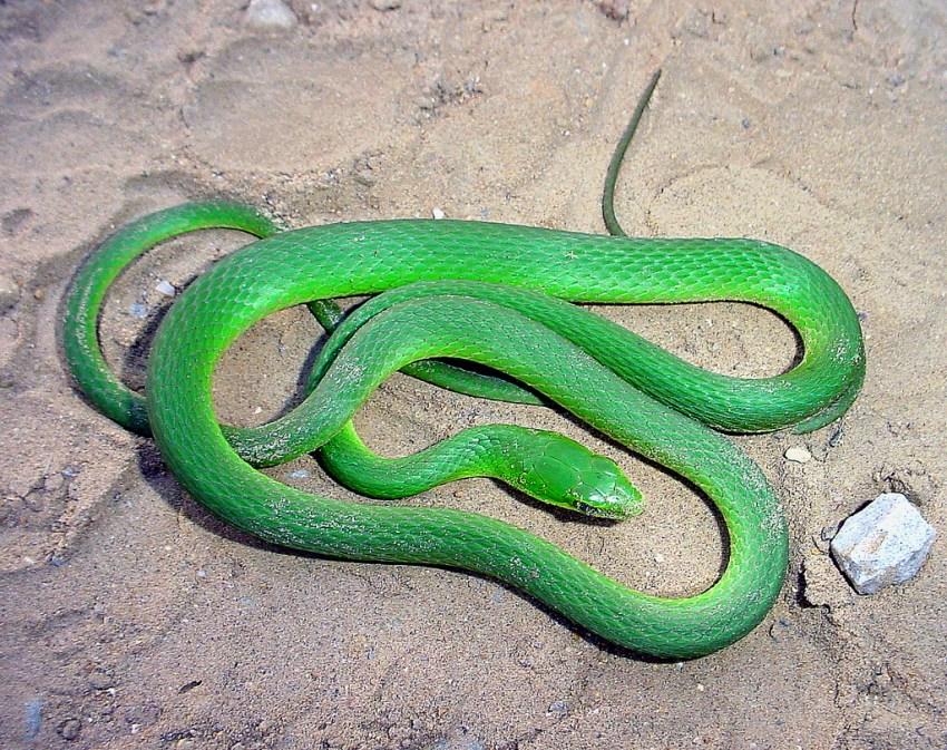 Змея Мамба Среда Ее Обитания