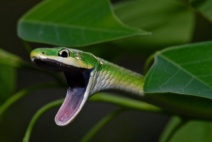 Porn snake, alexis seg cock