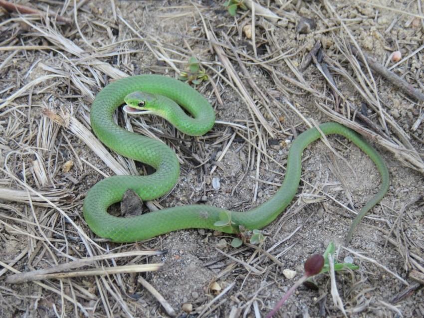 обитания ее змея среда мамба