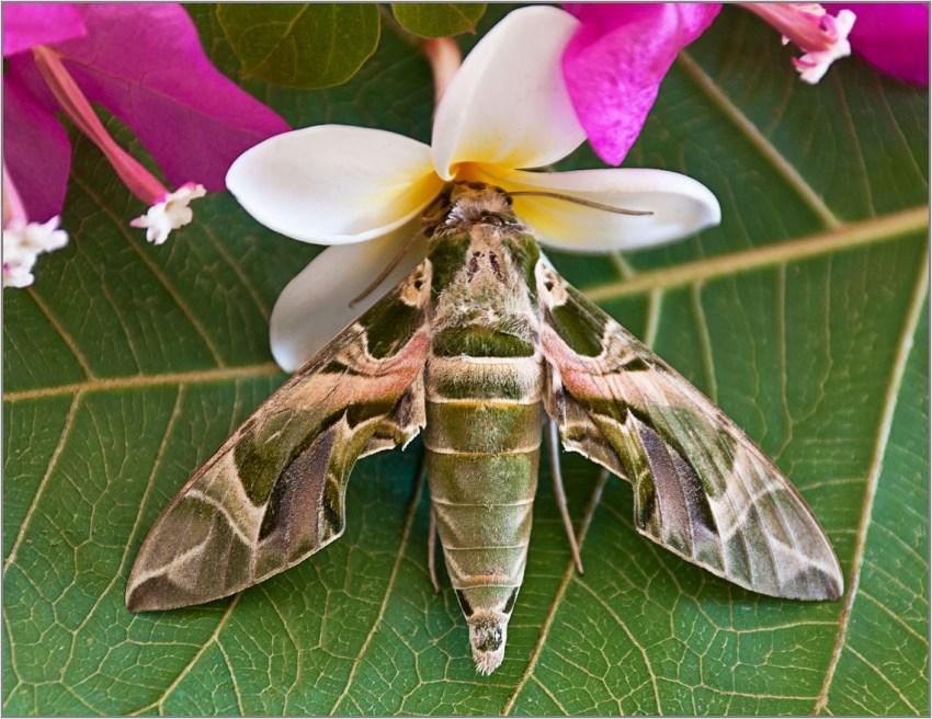 виды мотыльков сахалина фото славе