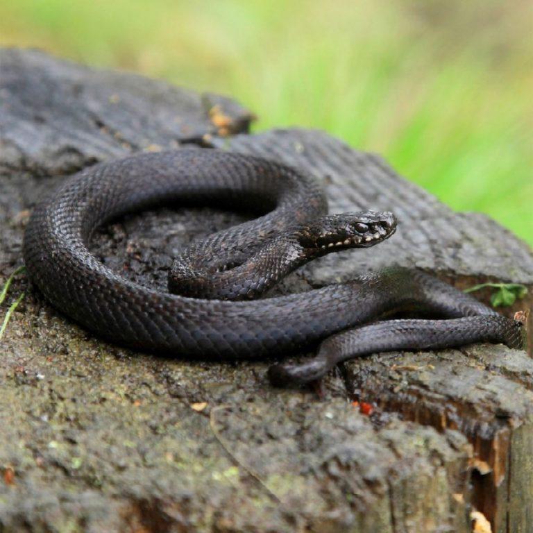 змеи подмосковья виды фото и названия все методы