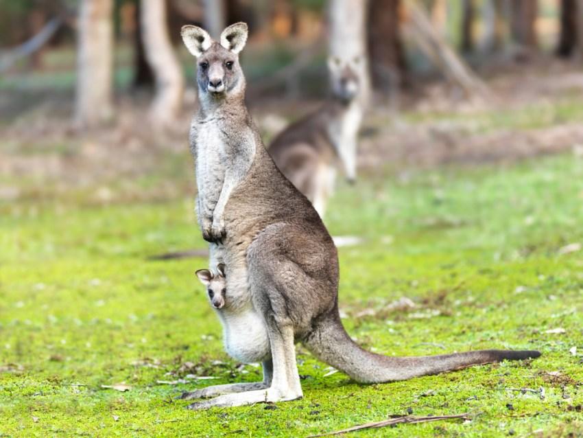 Кенгуру на городских улицах, розовое озеро и другие факты об Австралии, которые никого не оставят равнодушным