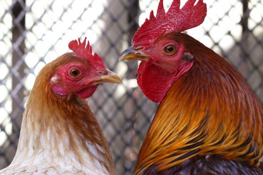 Все о курах: сколько живет курица в домашних условиях, интересные факты