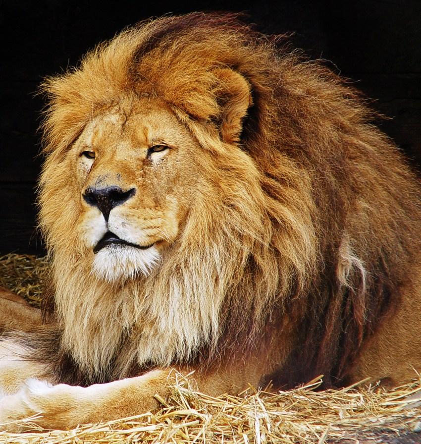 Покажи картинки льва