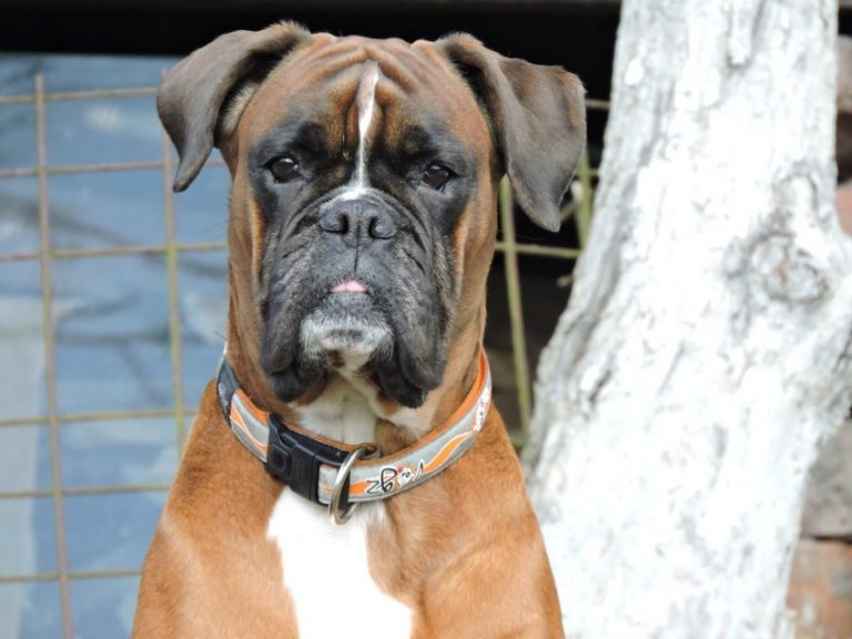 боксеры собаки фото название спасибо помощь, комменты