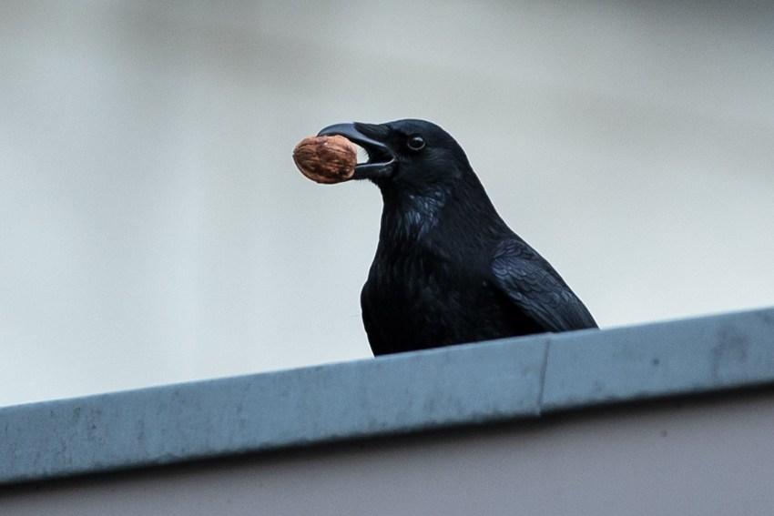 Черная птица с черным клювом. Ворон и ворона
