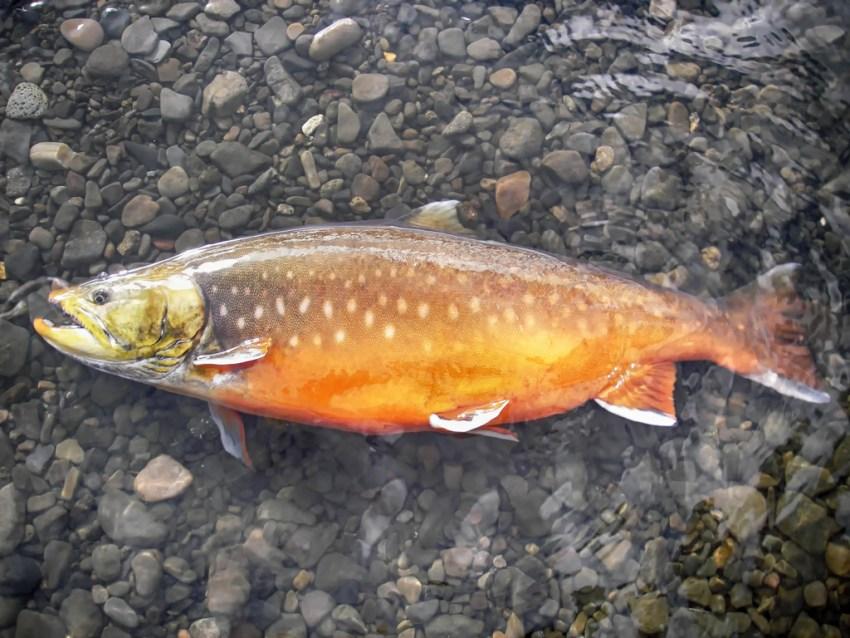 Как выглядит рыба голец