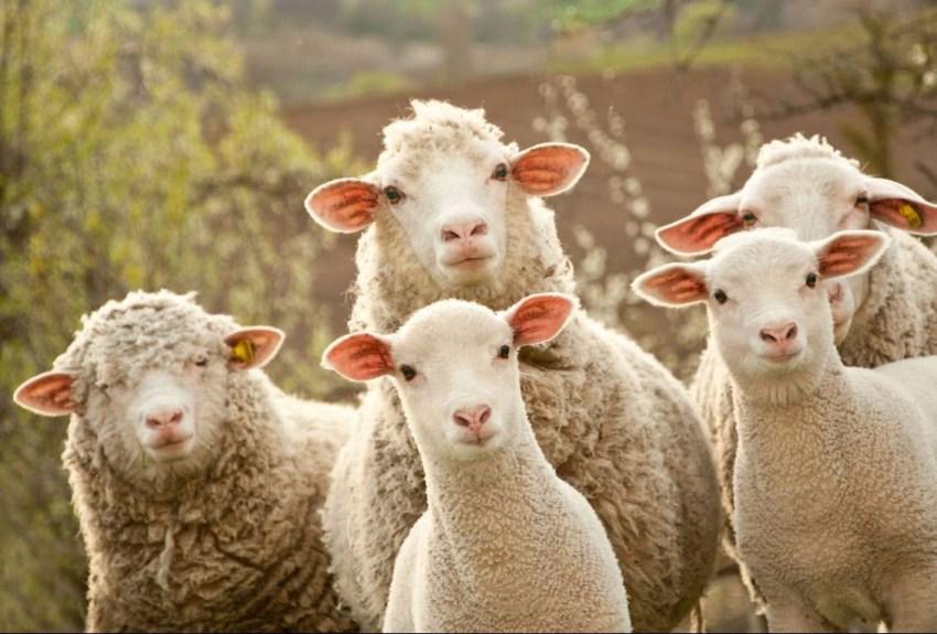 Сельское хозяйство с овечками